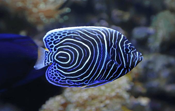 apariencia pez angel