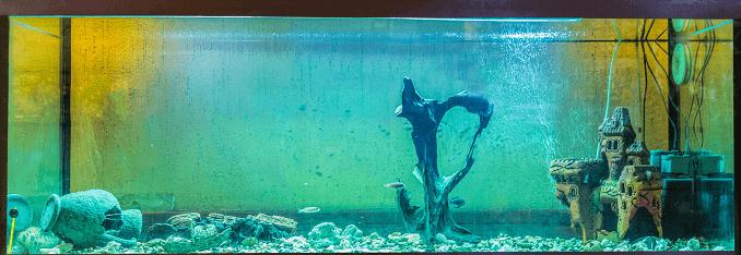 algas acuario