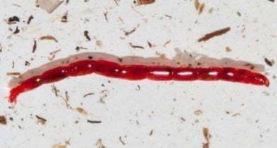 larva-roja-de-mosquito