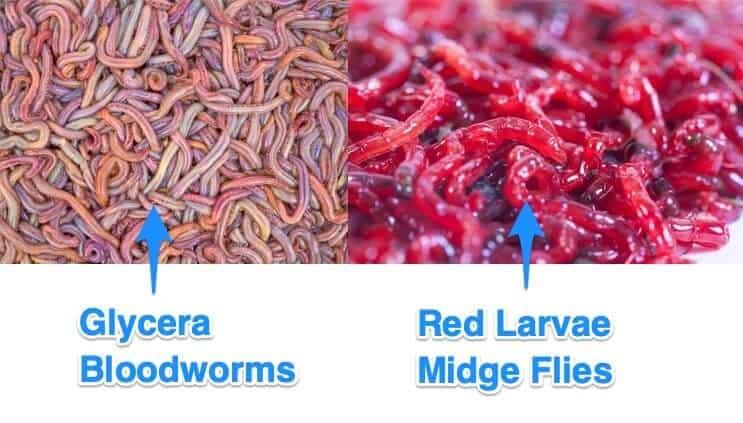tipos de larva roja