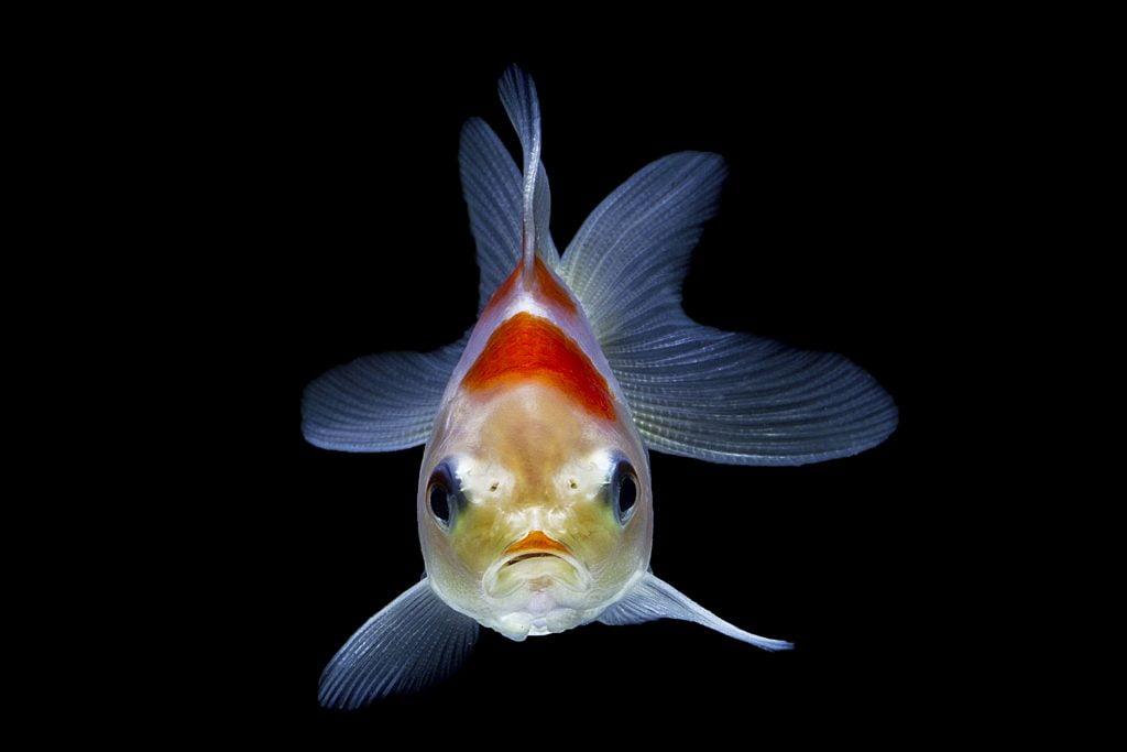 como duermen los peces