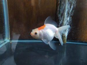 pez de colores o goldfish